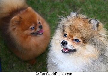 Pomeranian Duo