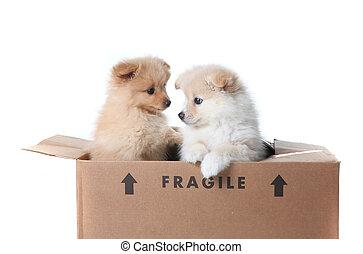 pomeranian, filhotes cachorro, dentro, um, caixa papelão