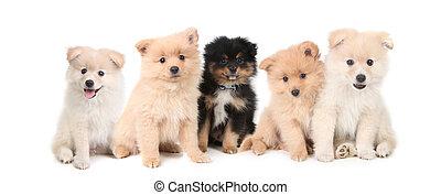 pomeranian, hondjes, lined op, op wit, achtergrond