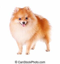 pomeranian, hund