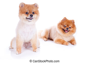 pomeranian, hund, brauner, kurzes haar