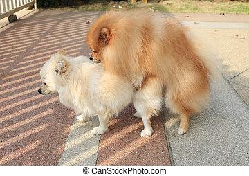 pomeranian, hunde, parre