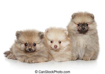 pomeranian, hundebabys, weiß, hintergrund