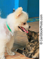 pomeranian, hunden, und, katzen
