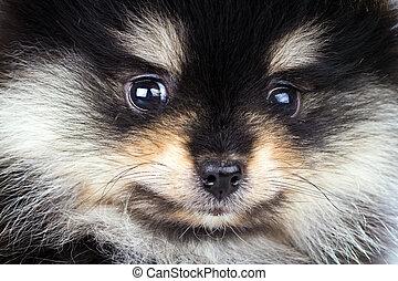 pomeranian, junger hund