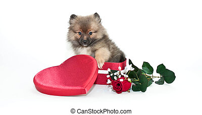Pomeranian Love - Little Pomeranian puppy sitting in a heart...