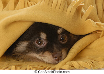 pomeranian, manta, amarillo, debajo, perrito, paliza
