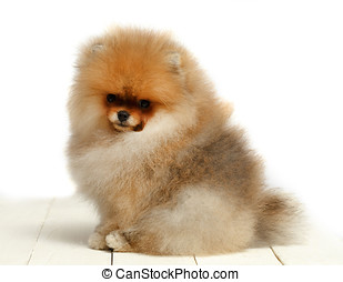 Pomeranian on white background