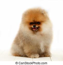 Pomeranian on white background