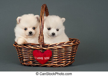 Pomeranian puppies - Sweet Pomeranian puppies in basket with...