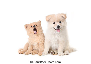 Pomeranian puppies sitting obediently on a white background
