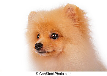 Pomeranian puppies. - Close up face pomeranian puppies on...