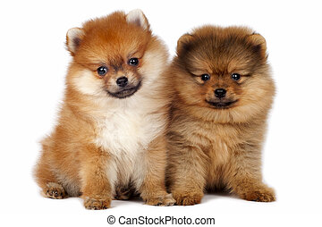 Pomeranian puppies - Two Pomeranian Spitz puppy on a white...