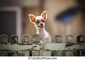 pomeranian puppy dog climbing old wood fence use for animals...