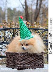 Pomeranian puppy is sitting in a wicker basket.