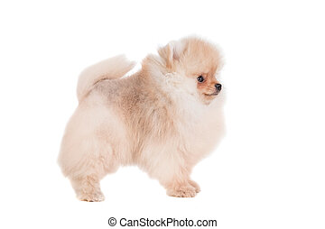 Pomeranian puppy on white