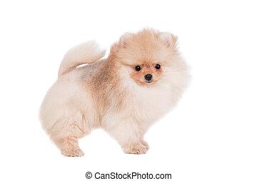Pomeranian puppy on white