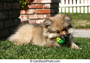 Pomeranian Puppy Playing With a Ball Outdoors in the Grass