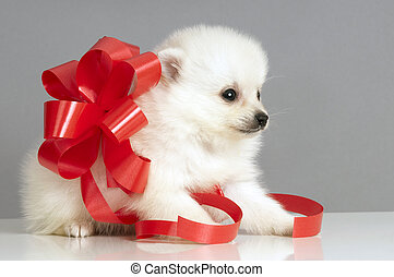 Pomeranian puppy present. - Pomeranian puppy with a red bow...