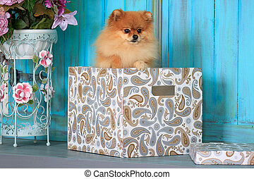 Pomeranian puppy standing in a gift box.