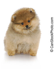 pomeranian puppy - adorable pomeranian puppy sitting with...