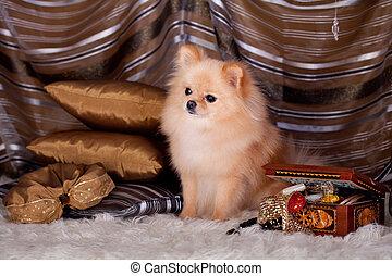 Pomeranian Spitz dog in luxury - Beauty red pomeranian Spitz...