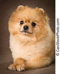 Pomeranian spitz-dog in studio