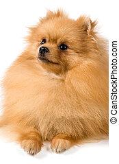 Pomeranian spitz-dog in studio on