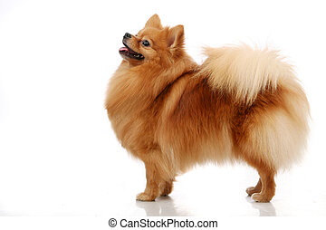 Pomeranian Spitz dog on white - Pomeranian Spitz dog....