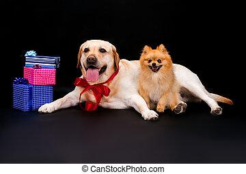Pomeranian spitz, labrador and gift boxes.