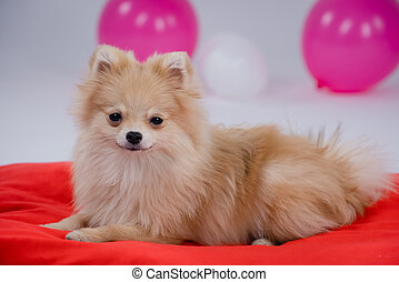 Pomeranian Spitz lying on a red bedspread in side view and looking into the camera. Isolated on a blurred gray background with white and pink balloons. Close up.