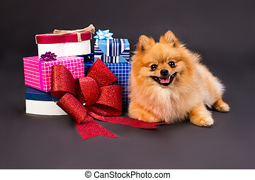 Pomeranian spitz with gift boxes.