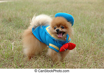 Pomeranian puppy standing on grass