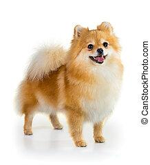 pomeranian, sur, fond blanc, chien