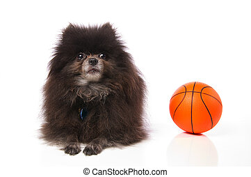 Pomeranian with a basketball - An old little pomeranian dog...