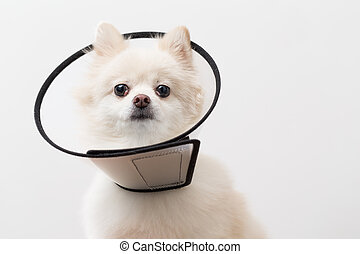Pomeranian with protective collar