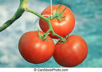 pomidor, świeży, ogród, zatkać się