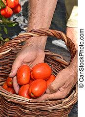 pomidor, cięcie, wole