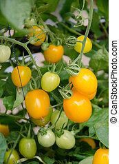 pomidor, fruiting, wole, rusztowanie