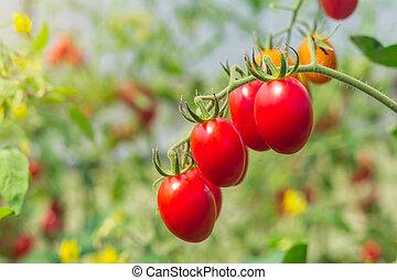 pomidor, ogród, do góry, pole, zamknięcie, rolniczy