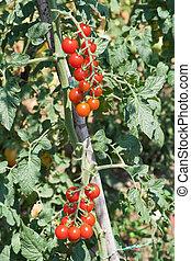 pomidor, wiśnia, wole