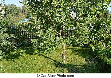 pomme, barrière, bois, arbre, pommes, fond, croissant, herbe, jardin