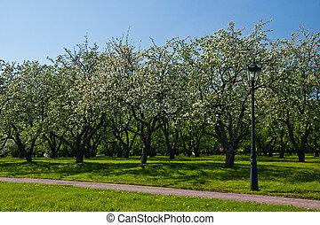 pomme, ensoleillé, parc, arbres, fleurir, jour