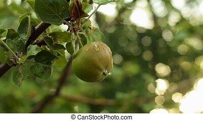 pomme, evening., arbre, leaves., vert, branche, jardin