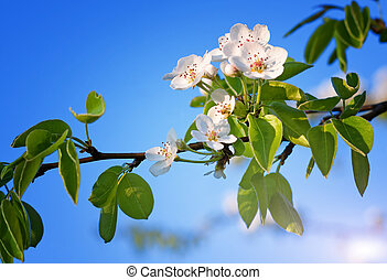 pomme, fleurs