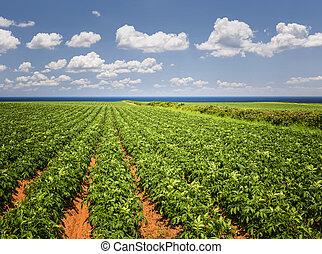 pomme terre, champ, dans, île prince edouard