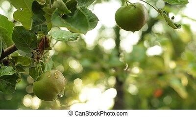 pomme, vert, evening., arbre, leaves., vert, branche, jardin