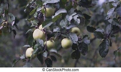 pomme verte, peu, pommes, branche