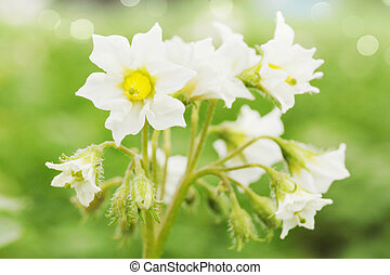 pommes terre, fleurs blanches
