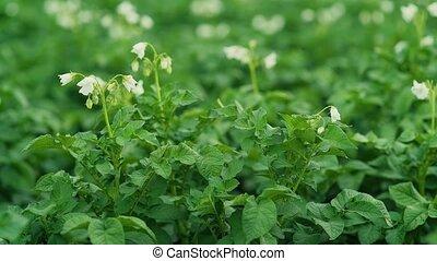 pommes terre, foyer, blurr, sélectif, fleurir, fleurs blanches
